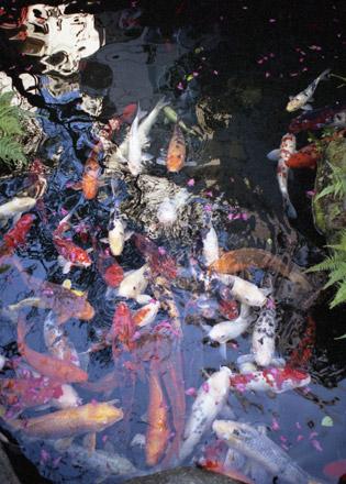 水鏡天満宮の鯉