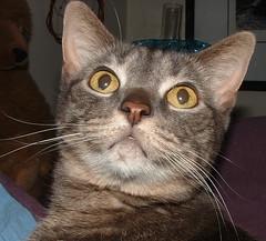 Boo- grey tabby cat