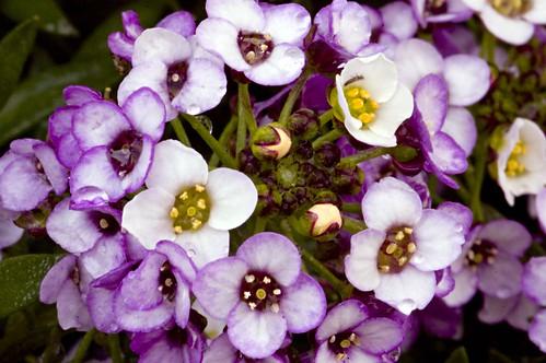 Alyssum Bouquet