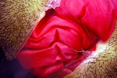 poppy popping