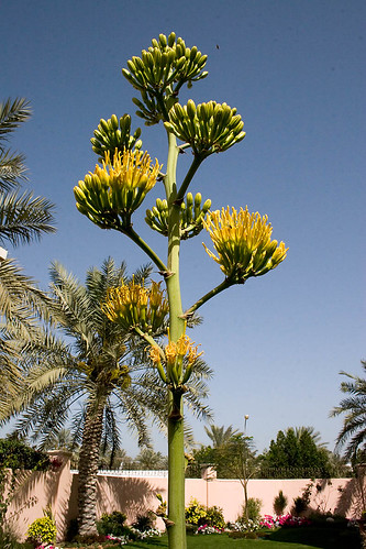 Flowering Agave