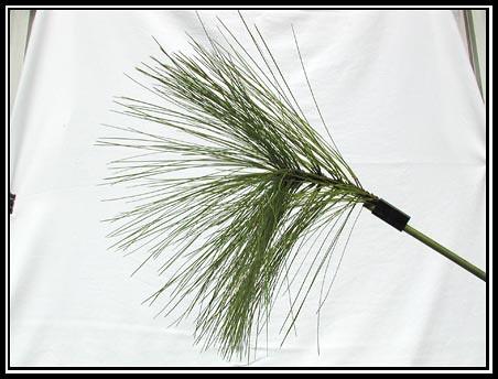 Longleaf Pine Setup