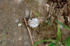 台灣胡麻花
