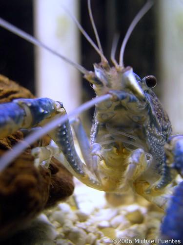 picture of aquarium shrimp by flickr user pocho, under creative commons license, thanks!!! http://flickr.com/photos/pocho/128087228/