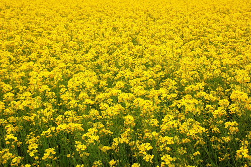 flood of yellow