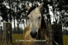 Cavalo amigo