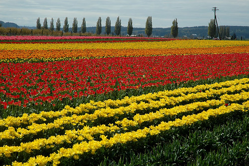 Tulips in rows