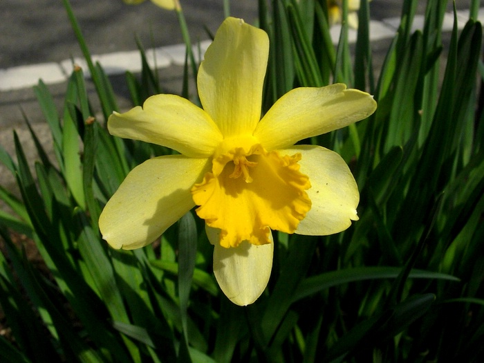 スイセン / Daffodill called Narcissus / Żonkil zwany Narcyzem
