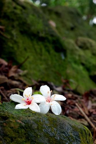 Tung Blossom