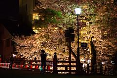 Cherryblossom@Takayama