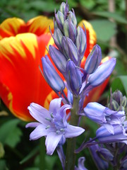 Blue bell and tulip