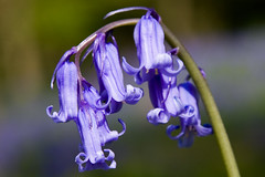 Link to Flickr bluebell pictures