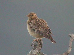 Woodlark, N of Bispo (Portugal), 16-Apr-06