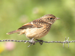 Stonechat, Pancas (Portugal), 19-Apr-06