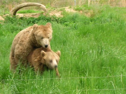 humping bears