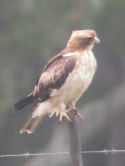 Booted Eagle, Pancas (Portugal), 20-Apr-06