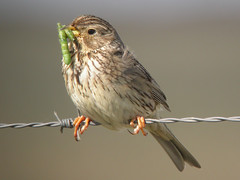 Corn Bunting, E of Mourão (Spain), 21-Apr-06