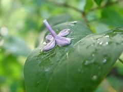 single lilac blossom 1