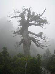 Kigensugi cedar tree