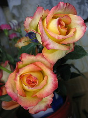 Pink Edged Yellow Roses