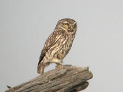 Little Owl, Mértola - Castro Verde (Portugal), 24-Apr-06