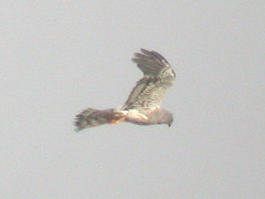 Montagu's Harrier, Castro Marim (Portugal), 27-Apr-06