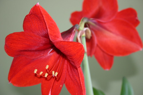 flores opostas de amarilis