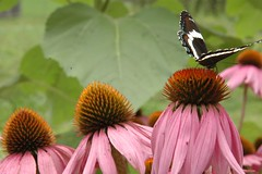 purple coneflower & butterfly