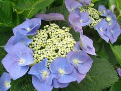 紫陽花 AZiSaI / Hydrangea