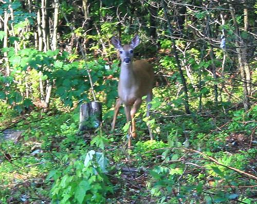 deer-1-jpg