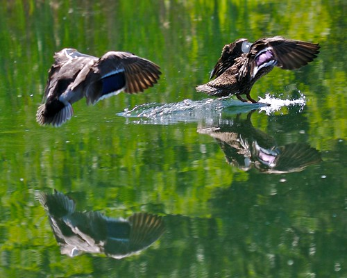 Ducks Landing on Water