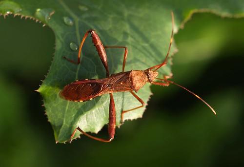 Riptortus clavatus :: bean bug