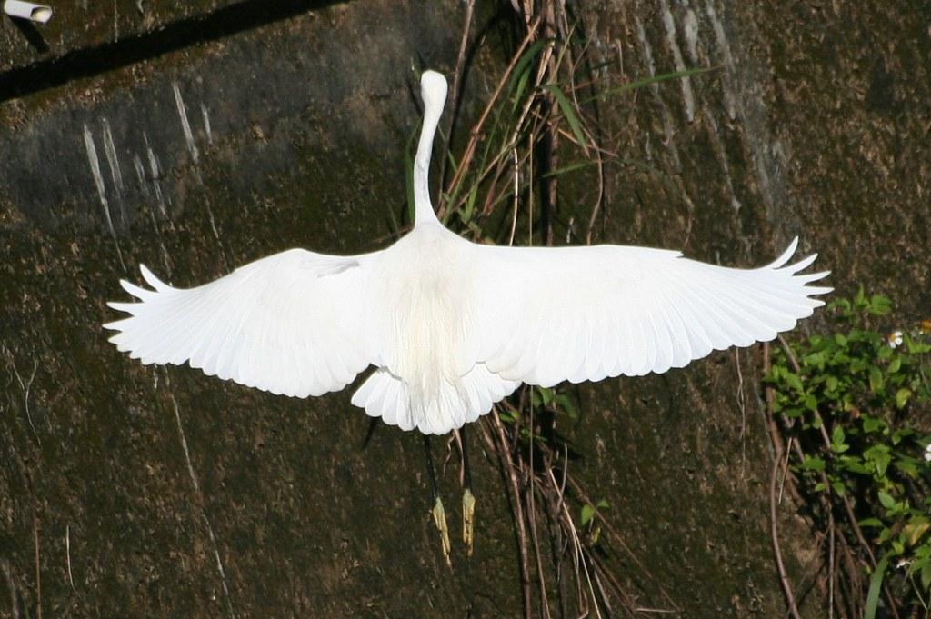 白鷺鷥降落中