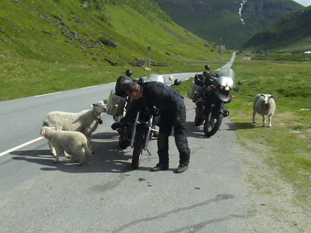 Sheep take an interest in the bikes, Norway