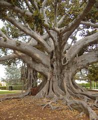 beverly tree