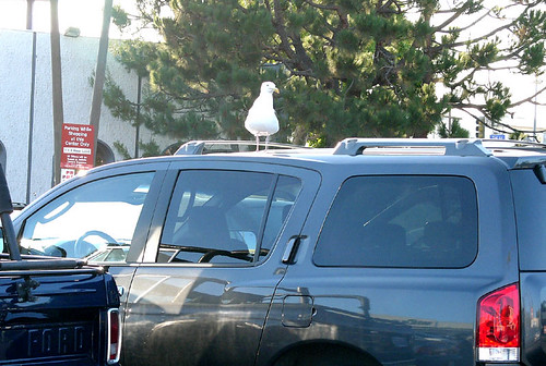 seagulls are the new pigeons.