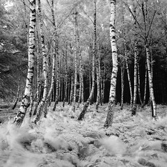 Hasselblad 503CX - BW - RolleiRetro80s - Wind and Birches photo by Gustaf_E