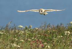 Barn Owl photo by Mandy West