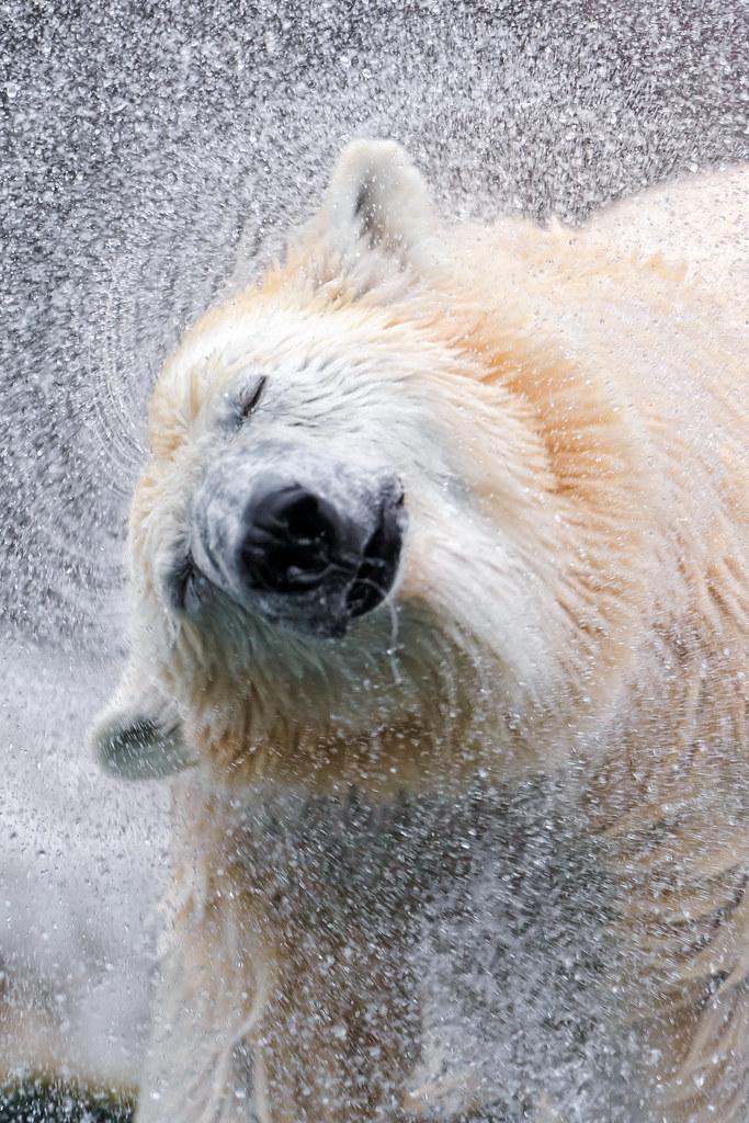 Shaking polar bear IV photo by Tambako the Jaguar