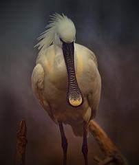 European Spoonbill photo by Steve Wilson - over 5 million views Thanks !!