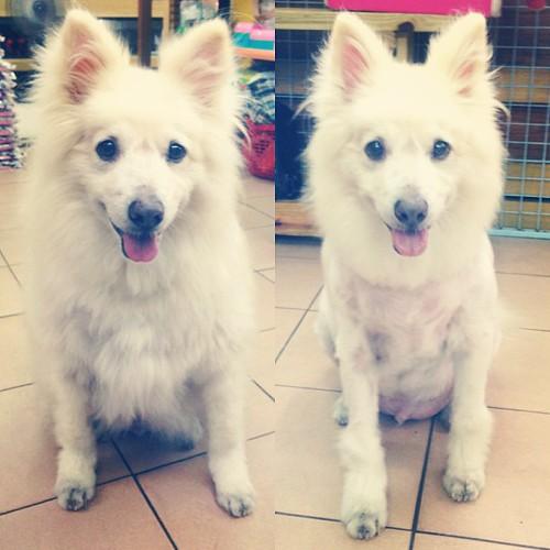剃毛前.剃毛後 #熊寶 #instacollage #dog #doglife #dogdaily #dogstagram #instadog #shave