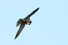 hobby airlines in flight meals photo by blackfox wildlife and nature imaging