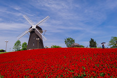 Windmill on salvia photo by TORO*
