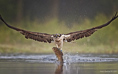 Male Osprey with trout photo by sumo1664