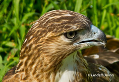 Red-tailed Hawk photo by Lindell Dillon