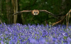 Tawny over Blue photo by Sweetmart