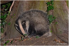 Don't shoot me! - just a baby but they will still be shot. photo by Alan Woodgate (stop the badger cull)