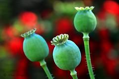 poppies field photo by Elahe Dastgheib