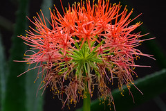 Red Spider Lily photo by chooyutshing