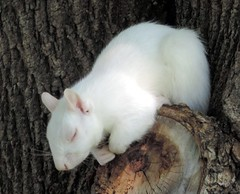 Albino Squirrel Sleeping In The Tree (Flickr Blog) photo by rabidscottsman